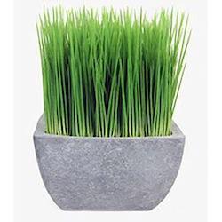 Malt Grass in Terracotta Pot