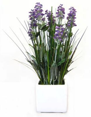 Picture of Lavender in White Ceramic Pot