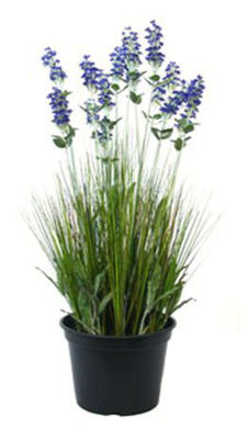 Picture of 24 Inch Lavender In Plastic Pot