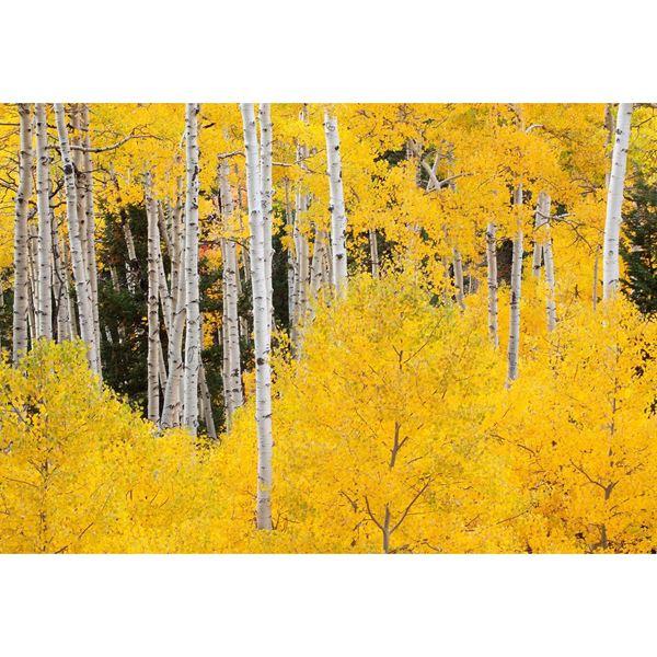 Aspens In The Colorado Rockies