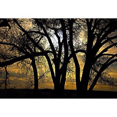 Cottonwoods at Dusk 48x32