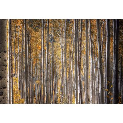 Autumnal Aspens 48x32