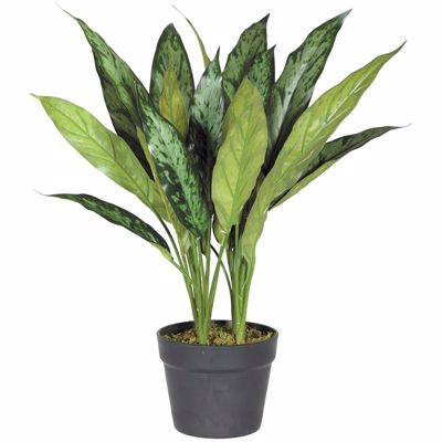 Picture of 21 INCH ALGEONEMA PLANT WITH POT