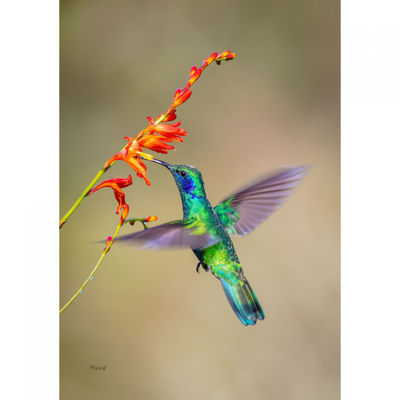 Picture of Fluttering Hummingbird 24X16 *D