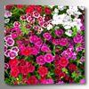 Picture of Flower Garden 24x24 *D