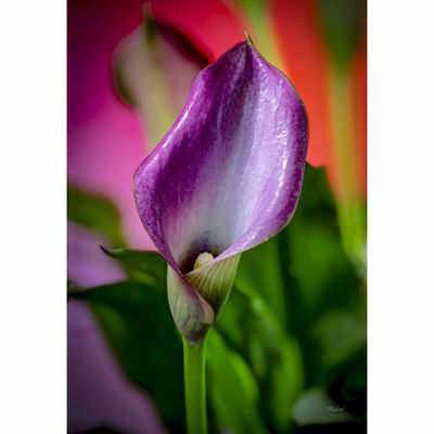 Picture of Dewy Magenta Calla Lily 24x36 *D