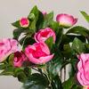 Picture of Camellia Plant