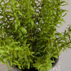 Picture of Ferns In Round Container